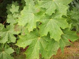 raindrops on green maple
