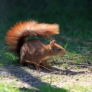 red squirrel with bushy tail on ground