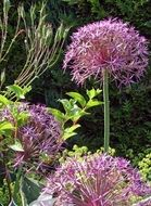 Purple ornamental onion flowers
