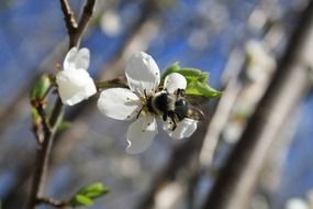Honey bee on a cherry flower