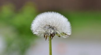 dandelion white seeds closer