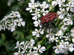 striped red and black bug in wildlife
