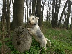 cesky Terrier near a stone in the forest