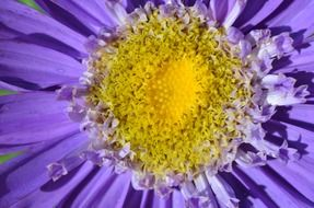 flower with purple petals and yellow core