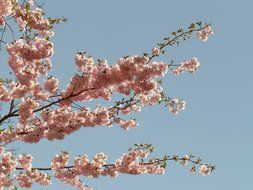 ornamental flowering cherry on a background of blue sky