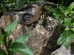 two lizards on the rock