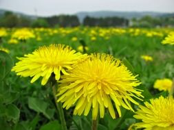 yellow dandelions meadow