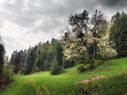 blooming tree on hill at spruce forest, poland