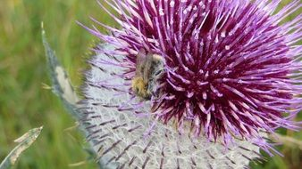 thistle plant prickly flower
