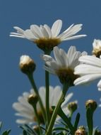 white daisies under a blue sky close-up