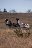 two wild zebras in africa