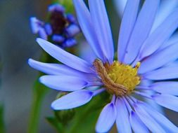 blooming blue aster