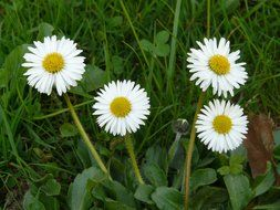 four white daisies in the green grass
