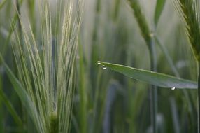 wheat spike with dewdrop