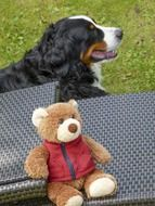 bernese mountain dog sitting near teddy bear