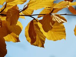 European beech branch with yellow leaves