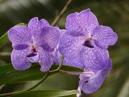 Blue vanda is a orchids