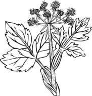 white snakeroot or Ageratina altissima