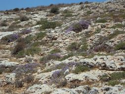 wild thyme in bloom on limestone