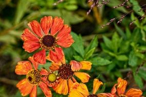 helenium is a herbaceous plant