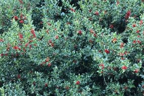 wonderful red berries bush