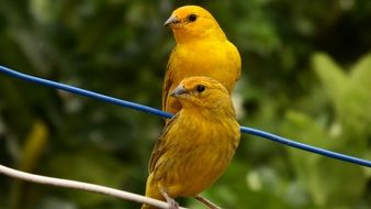 Tropical yellow canaries