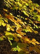 golden beech leaves in the forest