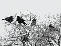 many ravens on a tree in winter