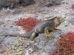 iguana in the natural environment of the Galapagos