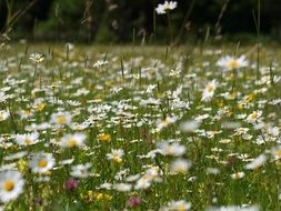daisies flower meadow