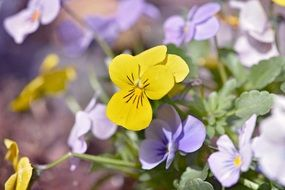 Yellow purple pansy flower plant garden