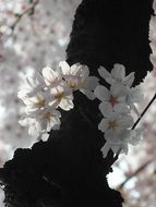 cherry blossom as a spring decoration