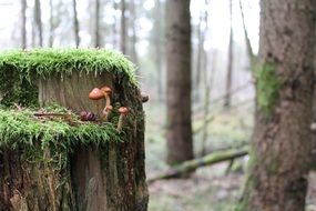 small mushrooms on a green stump