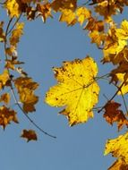 leaves of the mountain maple on the background of the autumn sky