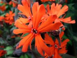 Lychnis is an ornamental plant
