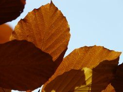 brown leafs of European beech close-up