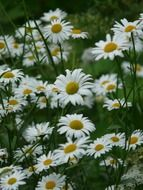 marguerite Daisy meadows