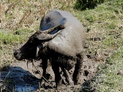 dirty wild water buffalo