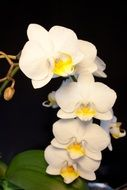 houseplant white orchid blossom
