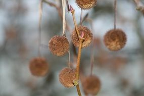round fluffy seeds on a tree branch