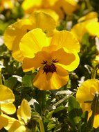 yellow flowers pansy close up
