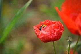 bee on the red poppy