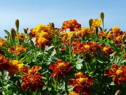 Marigold bush on sky background