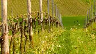 green vineyard in spring