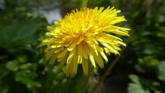 dandelion is a yellow pointed flower