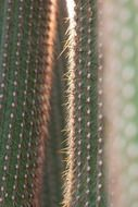 spikes on a green cactus close-up