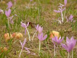 pale pink colchicum in the grass