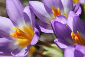 lovely crocus flower