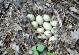 eggs in a duck nest
