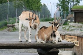 goats in a wooden paddock on a farm